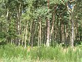 Tentsmuir Forest - geograph.org.uk - 1452396.jpg
