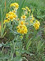 Tephroseris palustris kz04.jpg