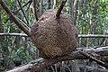 Termite nest in La Manzanilla mangrove.jpg