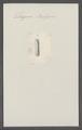 Tetragona belzoni - - Print - Iconographia Zoologica - Special Collections University of Amsterdam - UBAINV0274 080 09 0006.tif