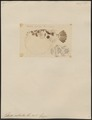 Tetrodon cutcutia - 1700-1880 - Print - Iconographia Zoologica - Special Collections University of Amsterdam - UBA01 IZ15500059.tif
