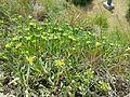 Teucrium montanum sl3.jpg