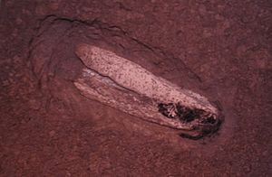 Gladius (cephalopod) - Fossilised gladius of Teudopsis