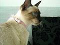 Thai cat (1).jpg