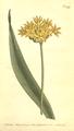 The Botanical Magazine, Plate 499 (Volume 14, 1800).png