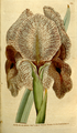 The Botanical Magazine, Plate 91 (Volume 3, 1790).png