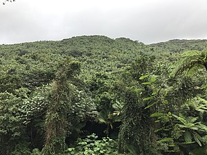 El Yunque National Forest - Skyline of the El Yunque National Rainforest from a trail.