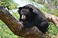 The Himalayan black bear (Ursus thibetanus) is a rare subspecies of the Asiatic black bear. 10.jpg