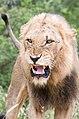 The Lion's Roar (2253208286).jpg