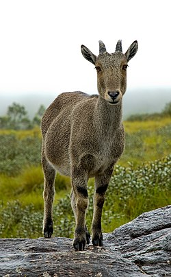 The Nilgiri Tahr.jpg
