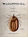 The bandicot tick (Ixodes reduvius), vector of the louping-i Wellcome V0022563.jpg