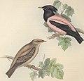 The birds of Europe (1837) (14565337449).jpg