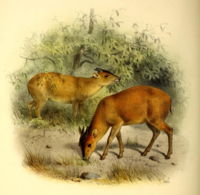 The book of antelopes (1894) Cephalophus harveyi.png