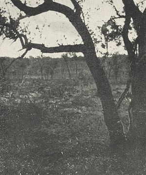 Forrest River massacre: Investigations and Royal Commission -  The bullet scarred tree at Dala. Exhibit C, Wood Royal Commission