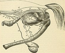 Stallion wikipedia genitourinary system of a stallion see also horse breeding ccuart Image collections
