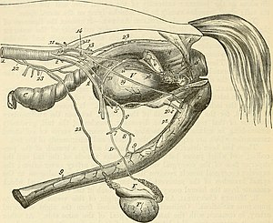 Stallion - Genitourinary system of a stallion