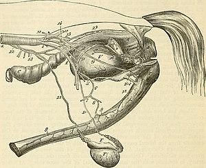 Stallion - Genitourinary system of a stallion
