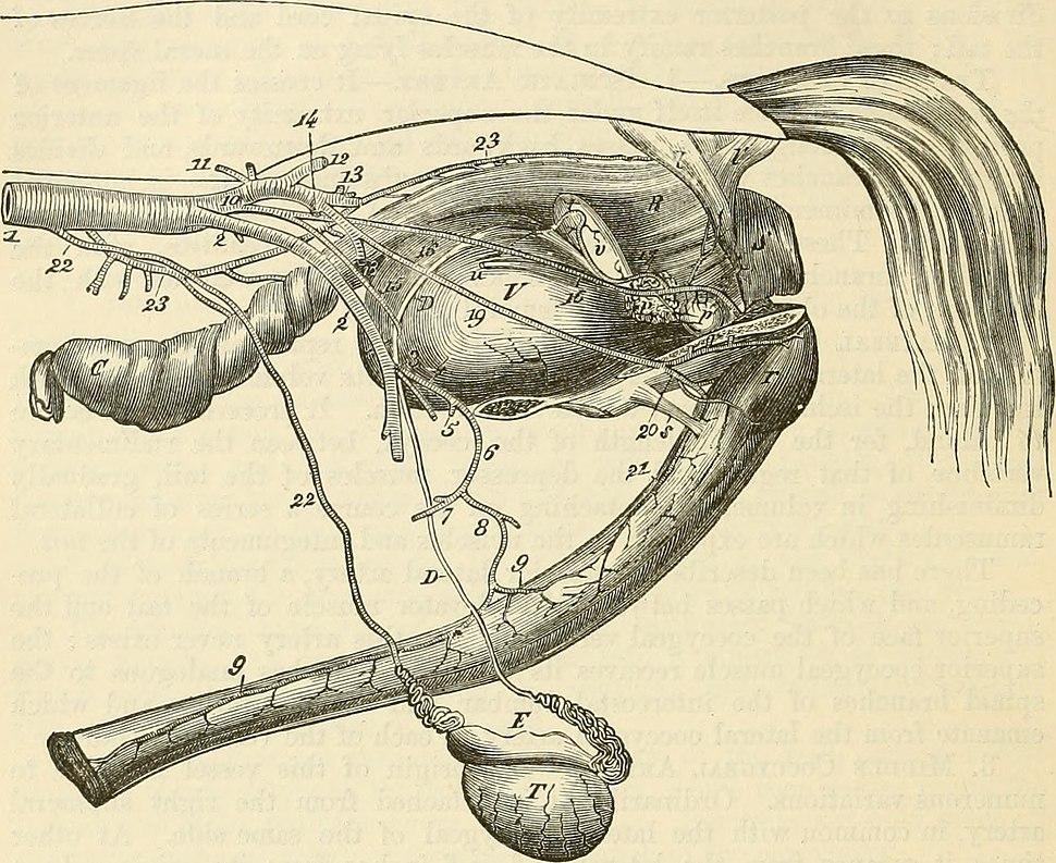 The comparative anatomy of the domesticated animals (1873) (20669607015)