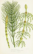 The ferns of Great Britain, and their allies the club-mosses, pepperworts, and horsetails (Pl. 39) (8516528852).jpg