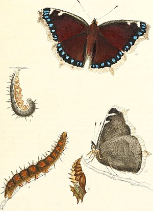Nymphalis antiopa - Illustration from The Papilios of Great Britain