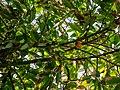 Theobroma cacao capsule and inflorescences Tropical Dome Brisbane Botanic Gardens Mt Coot-tha L1080364.jpg