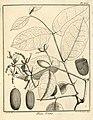 Thoa urens Aublet 1775 pl 336.jpg