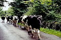Thoor Ballylee - Cattle herd passing tourists - geograph.org.uk - 1612847.jpg