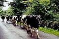 Thoor Ballylee - Cattle herd passing tourists - geograph.org.uk - 1612847.jpg