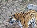 Tiger at Hogle Zoo, 2012.JPG