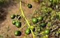 Tinospora cordifolia fruits 01.JPG