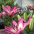 Tiny Diamond Lilies - Just bloomed, Bi-colored Lilies - Pink and White - in our backyard.jpg