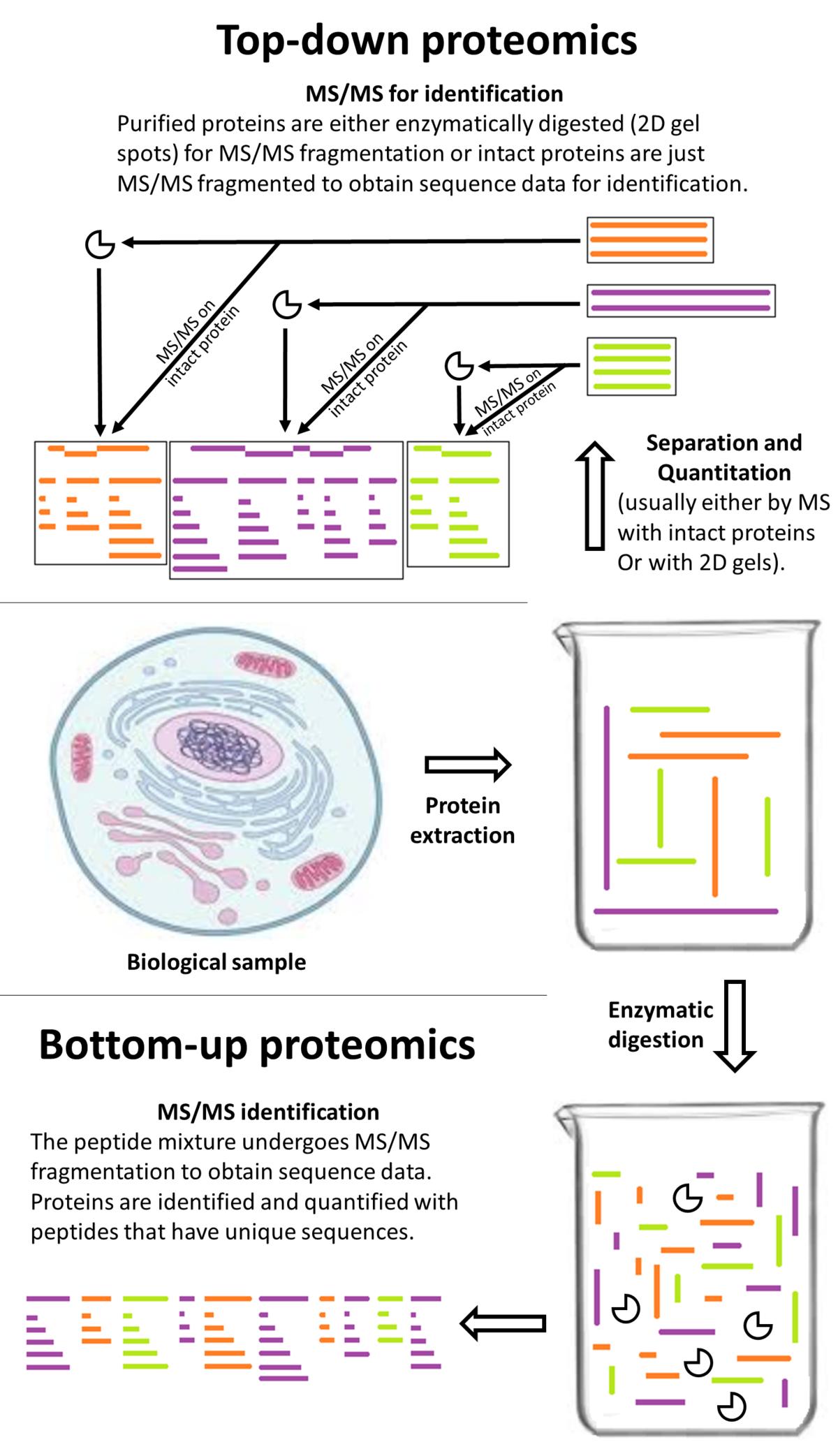 Top-down proteomics - Wikipedia