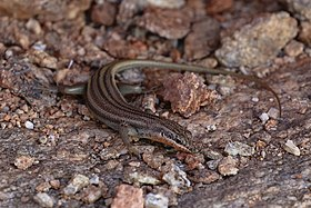 Trachylepis occidentalis (Western three-striped skink) -1602 (26174362715).jpg