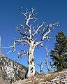 Trail Canyon tree skeleton.jpg