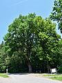 Traisen - Naturdenkmal LF-080 - Eichenbaumgruppe - 1.jpg