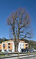Tree at Loizenbach, Rabenstein an der Pielach 02.jpg