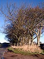 Trees edging the road near Cartington - geograph.org.uk - 79302.jpg