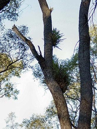 Cadellia - Image: Tregole NP Black Orchids DSC03273
