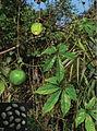 Trichosanthes napoiensis and Trichosanthes pedata habit and seeds (Trichosanthes pedata C D).jpg