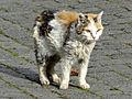 Tricolor cat.JPG