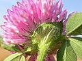 Trifolium pratense (5155175720).jpg