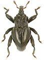 Trigonopterus costicollis holotype - ZooKeys-280-001-g018.jpg