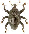 Trigonopterus striatus holotype - ZooKeys-280-001-g082.jpg