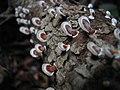 Tropical Wild Mushroom (fungi) (1351169548).jpg