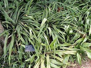<i>Tupistra</i> genus of plants
