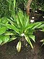 Tupistra squalida - NBGB - IMG 4412.JPG