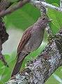 Turdus leucomelas Mirla buchiblanca Pale-breasted Thrush (12198396786).jpg