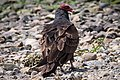 Turkey Vulture (17268527532).jpg