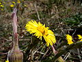 Tussilago farfara flower2.JPG