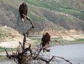 Two Vultures in a Tree (3281872747).jpg